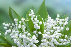 Illustration : Le muguet, un traditionnel porte-bonheur
