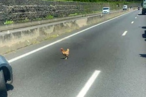 Illustration : Une poule se balade sur la Route du littoral
