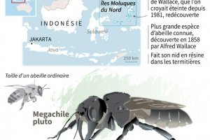 Illustration : La plus grosse abeille du monde retrouvée en Indonésie