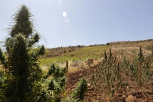 Illustration : Au Liban, quand la vigne supplante le cannabis